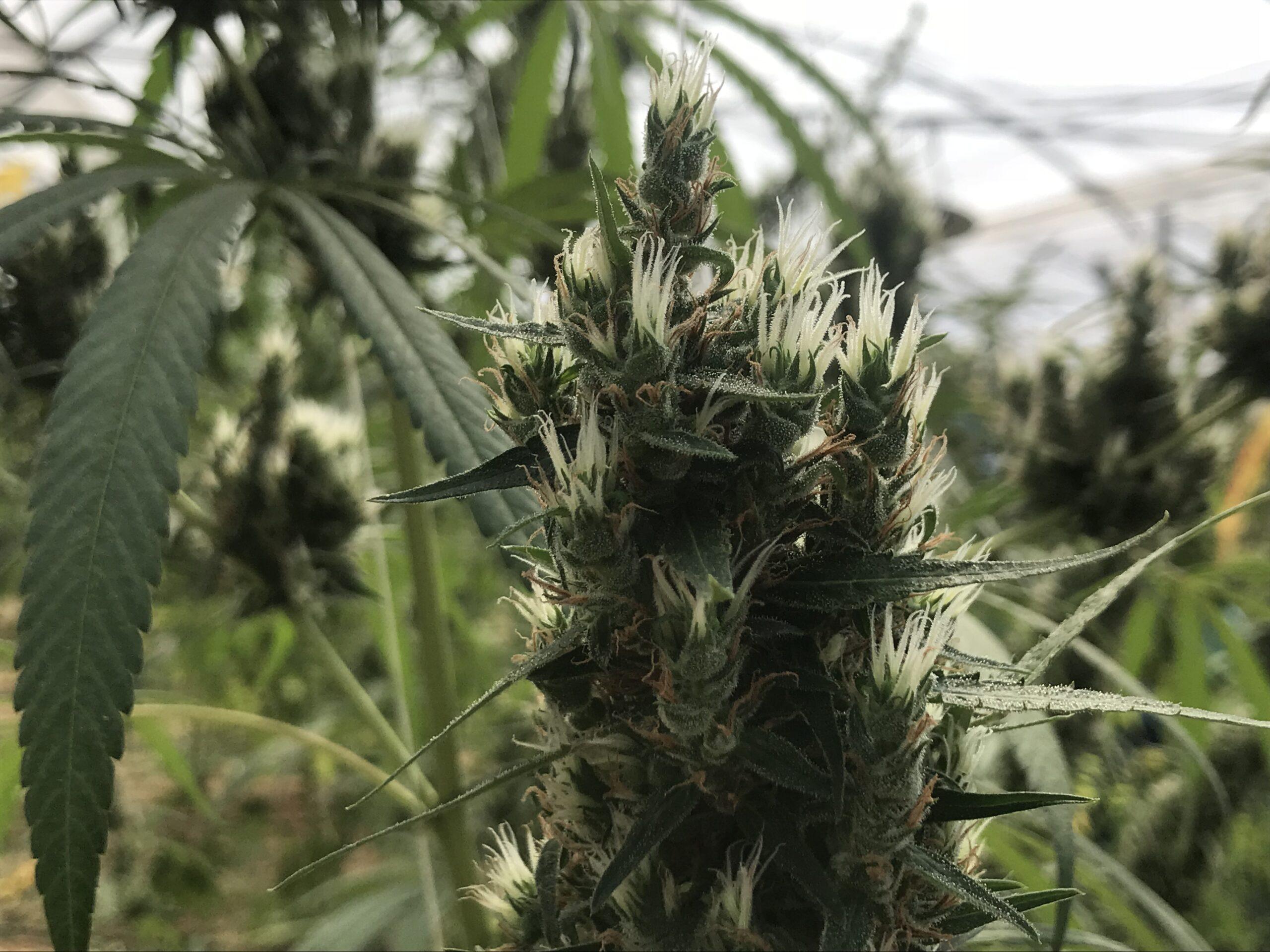 ley cannabis california