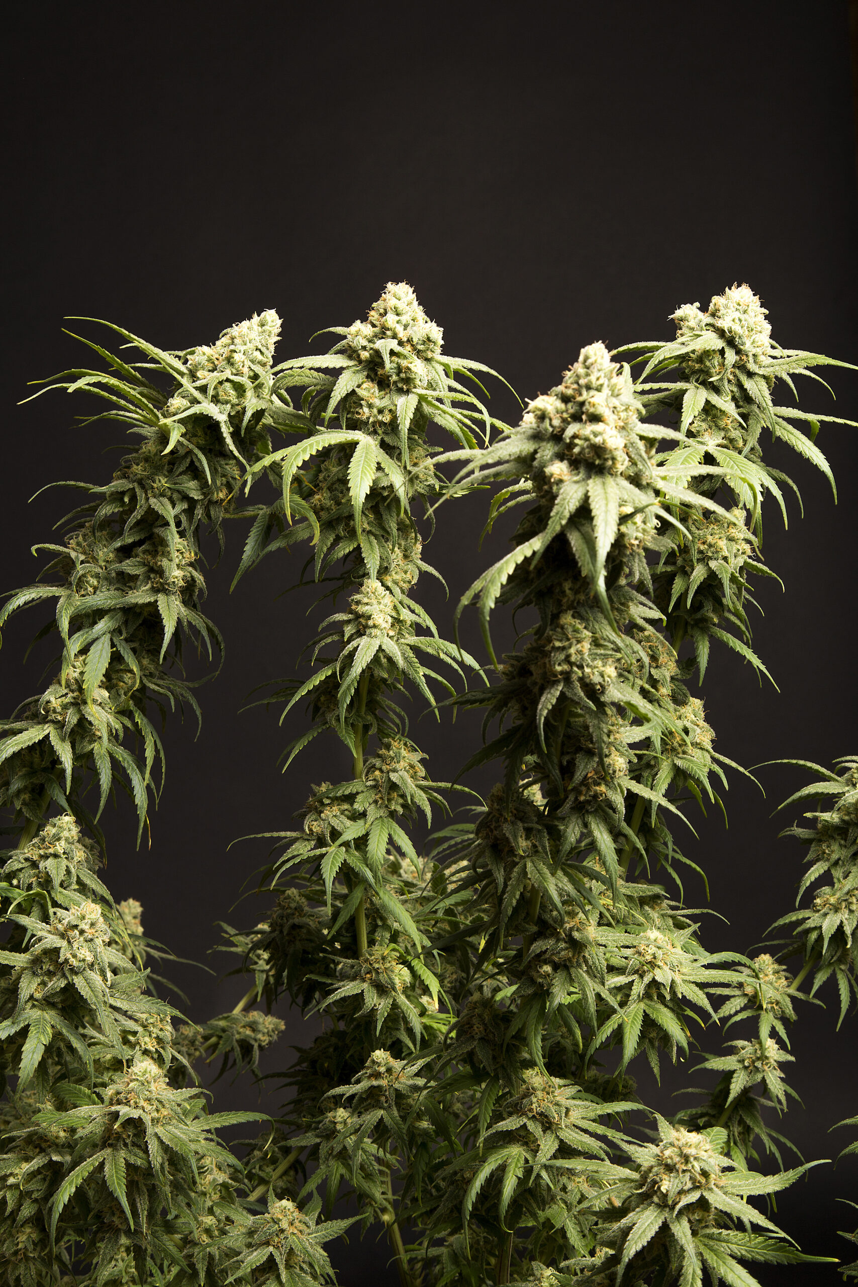 Lelen Ruete Cannabis Uruguay