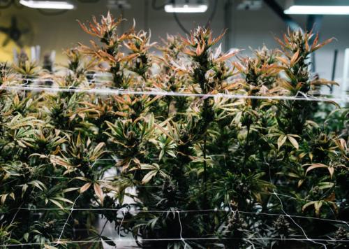 granjas de marihuana