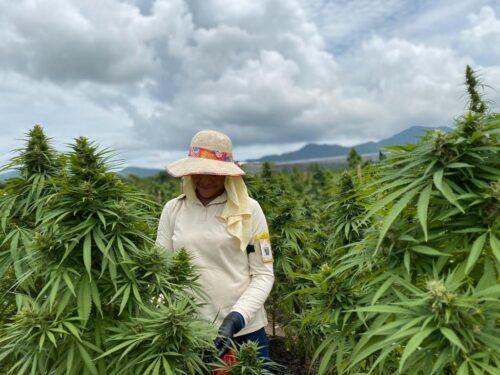UBA Cannabis CBD