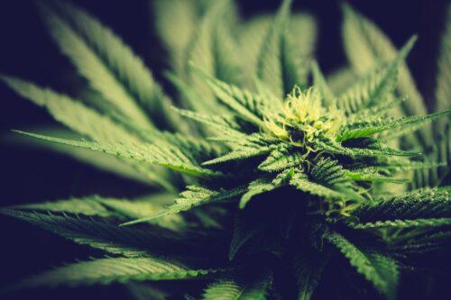 marihuana argentina