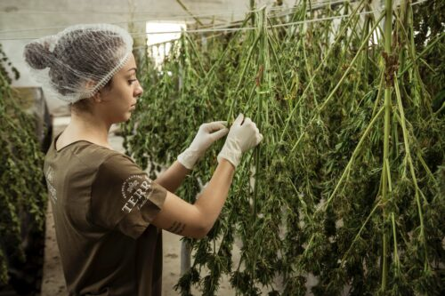 secar marihuana