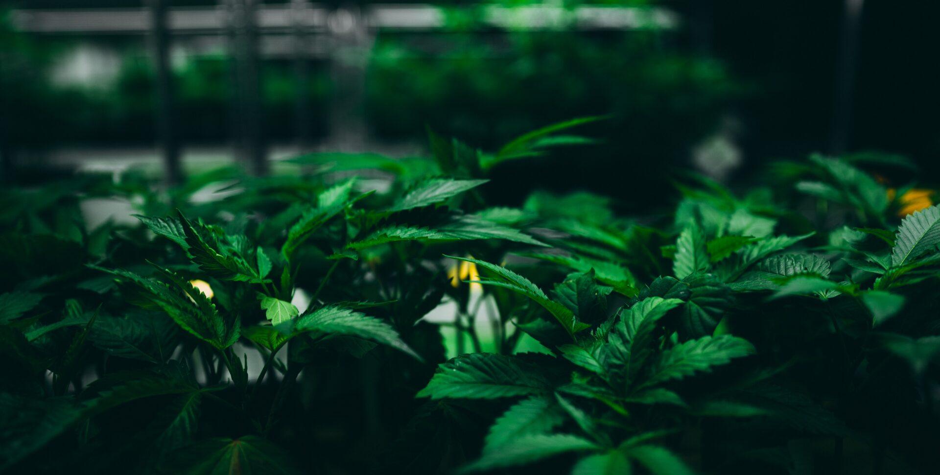 cultivo marihuana interior