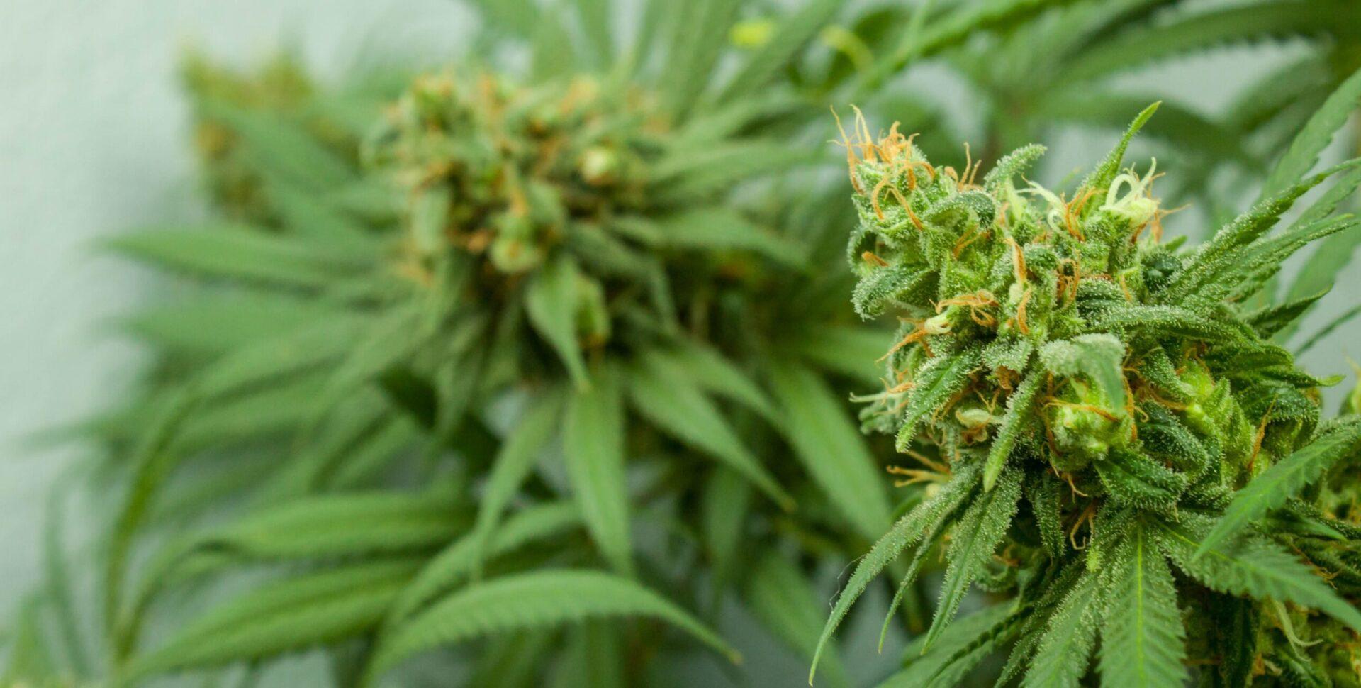 mso cannabis