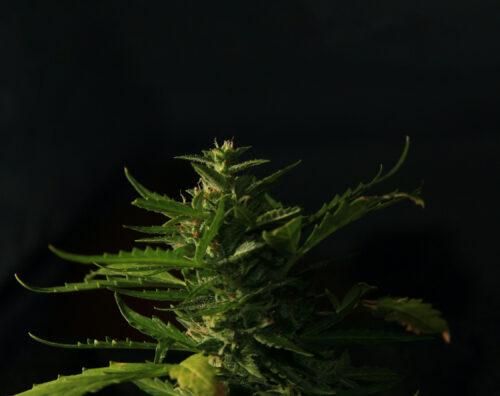 mitos marihuana